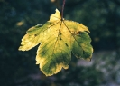 Autumn leaf-19-10-03