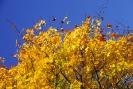 Glastonbury autumn leaves